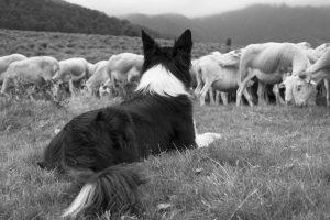 Die Rolle der Hunde früher